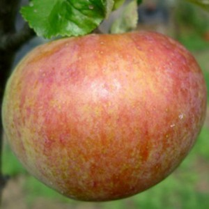 Cornish Apple Varieties